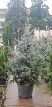 Picea pungens 'Hoopsii' – Cpeбpиcт cмъpч