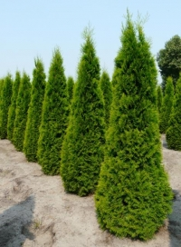 Thuja occidentalis Smaragd, Смарагдова туя