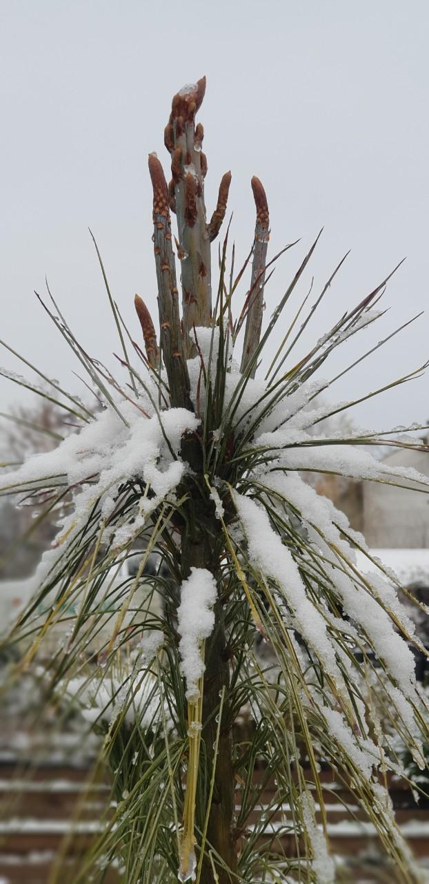 Pinus wallichiana- Хималайски бор