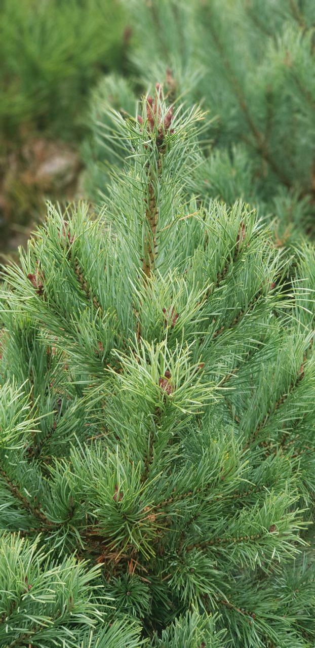 Pinus strobus- Веймутов бор