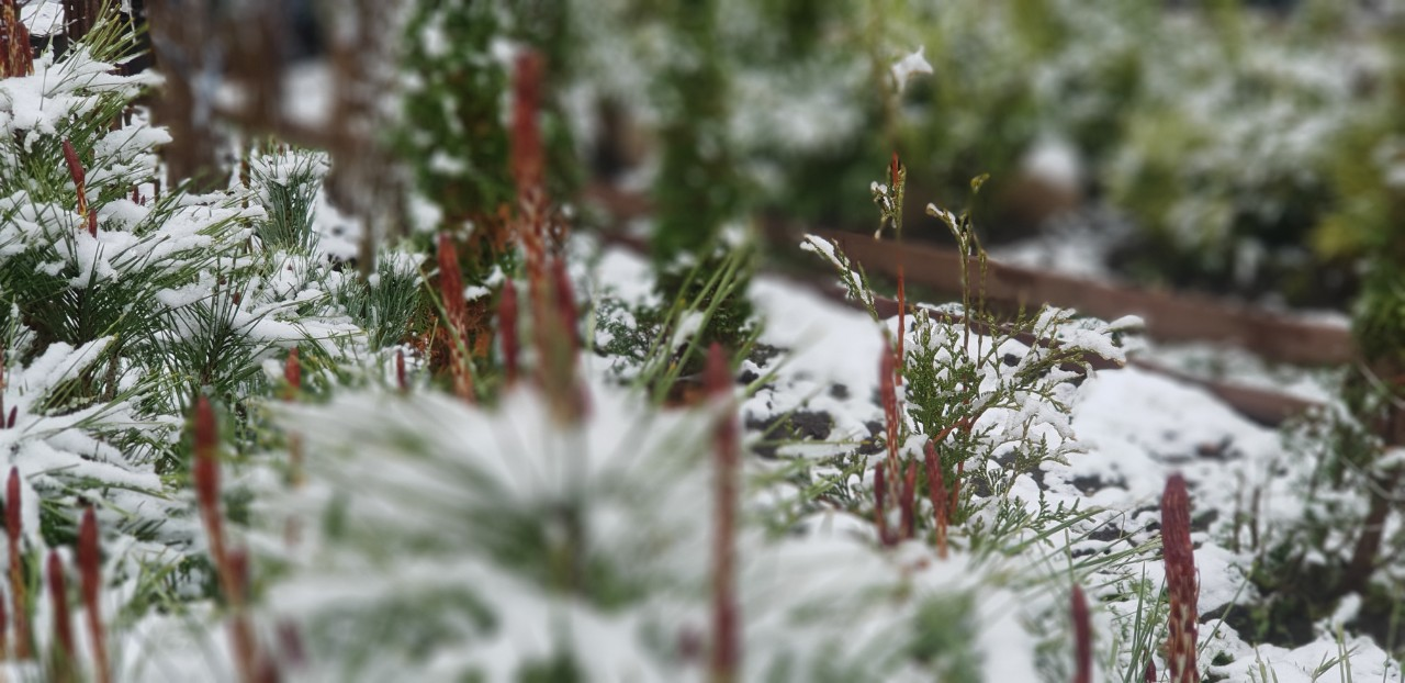Pinus densiflora 'Umbracolifera'- Японски червен бор