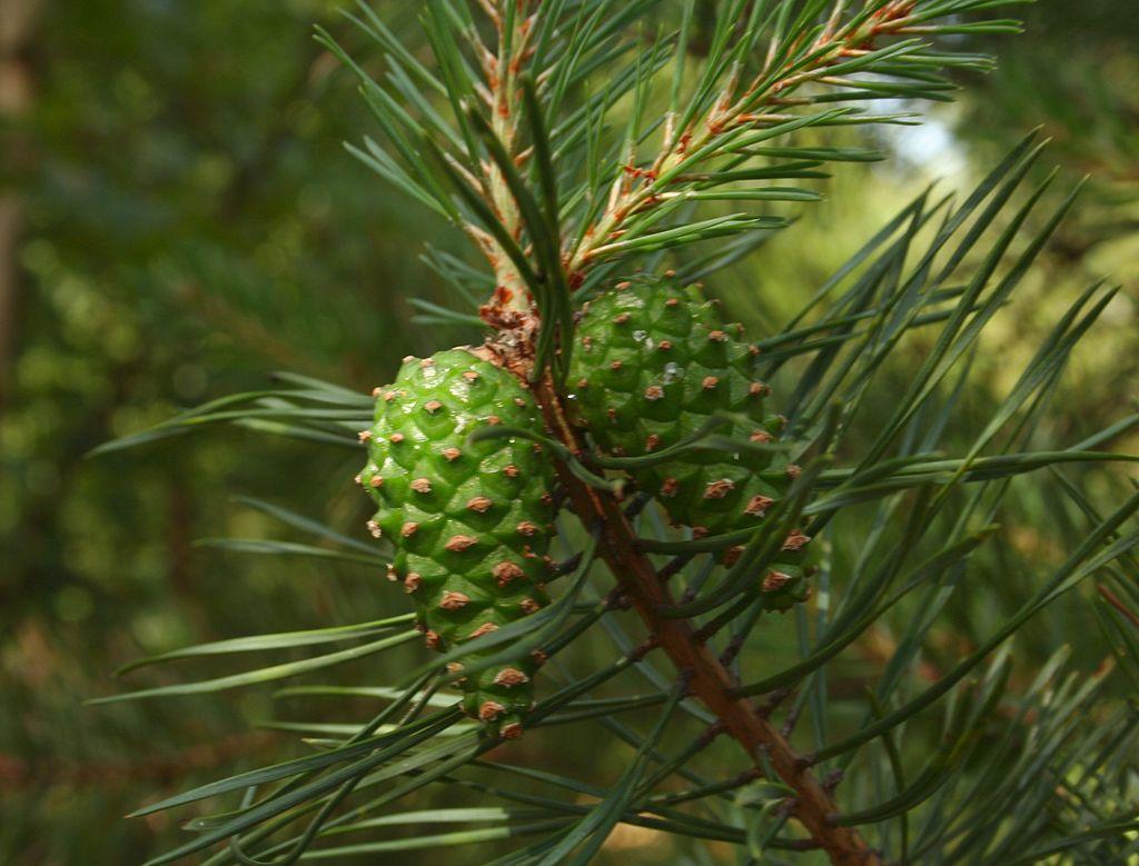 Pinus sylvestris - Бял бор