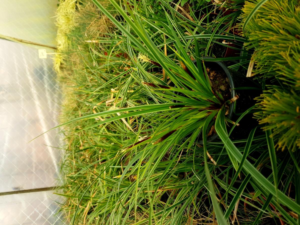 Carex morrowii 'Ice Dance'- Карекс Леден Танц