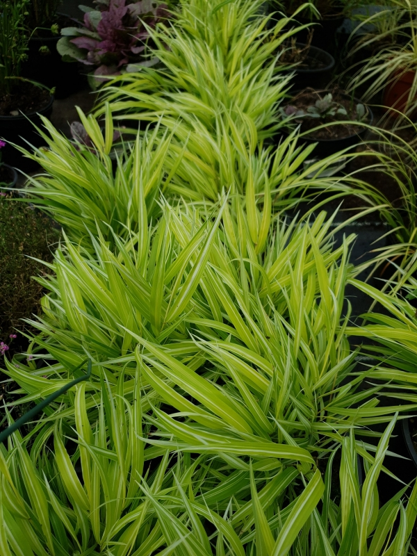 Hakonechloa macra 'Stripe It Rich' - Японска плачеща трева