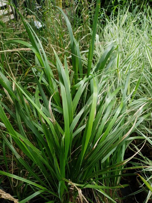 Calamagrostis brachytricha- Каламагростис, Вейник