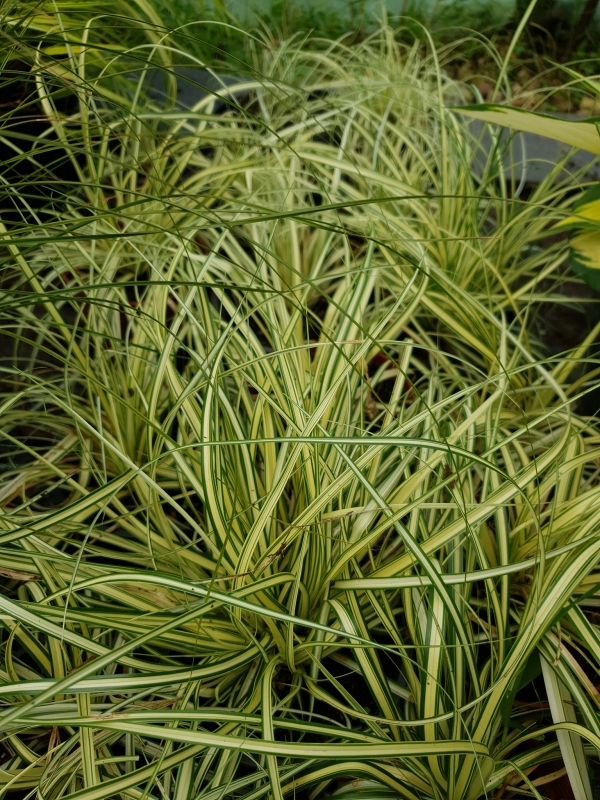 "Carex oshimensis ""Evergold""- Карекс Евърголд"