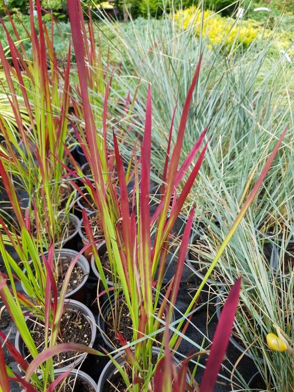 Imperata cylindrica 'Red baron'- Императа 'Червен барон'