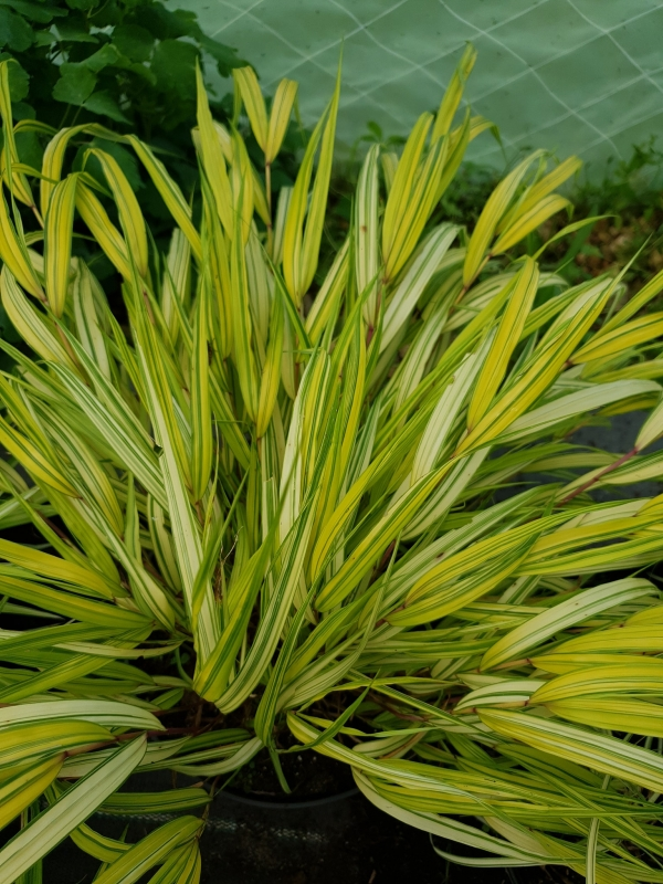 Hakonechloa macra ' Aureola' - Японска жълта плачеща трева