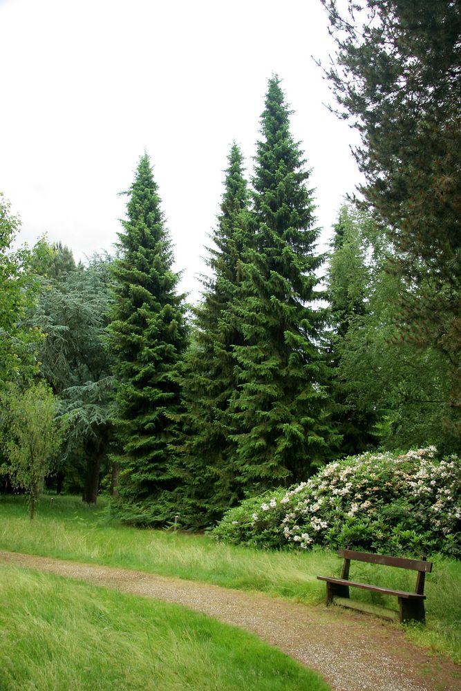 Picea omorika- Сръбски смърч