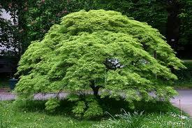 Acer palmatum, Разсеченолистен Японски клен
