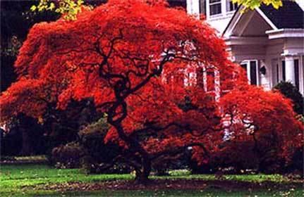 Acer palmatum Atropurpureum , Червенолистен Японски клен