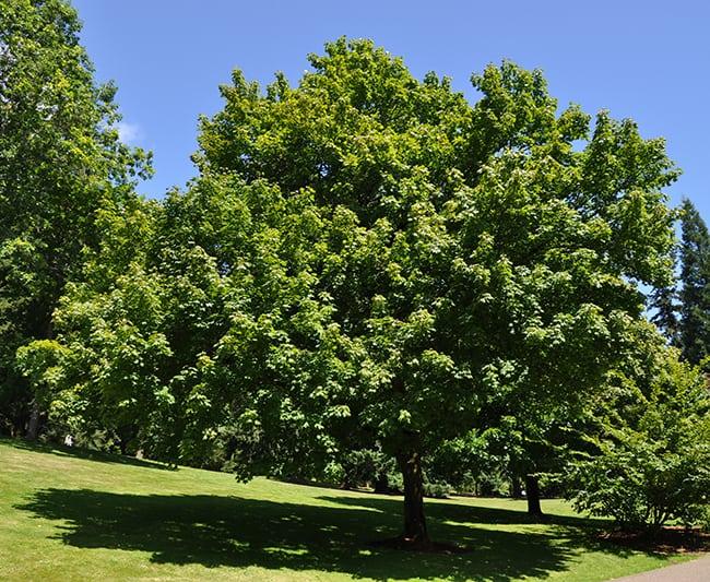 Acer platanoides, Платанолистен явор, Шестил