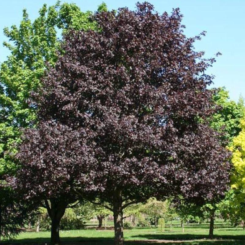 Acer platanoides Royal Red, Червенолистен шестил