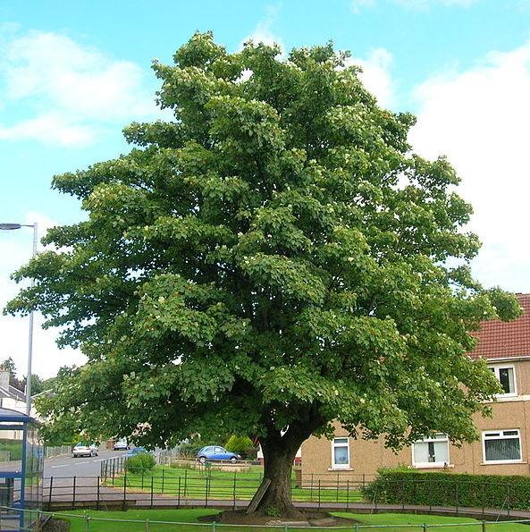 Acer pseudoplatanus, Обикновен явор