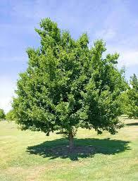Acer ginnala /Acer tataricum, Триделен, Татарски клен, Мекиш