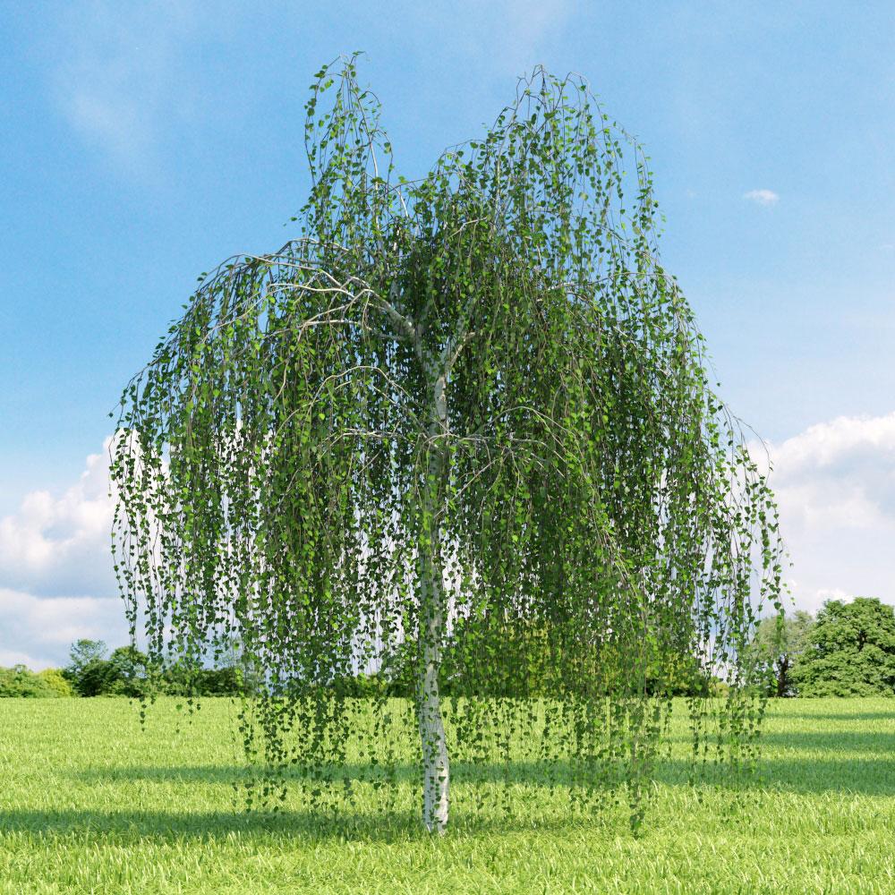 Betula pendula Youngii, Плачеща бреза