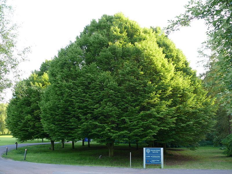 Carpinus betulus, Обикновен Габър
