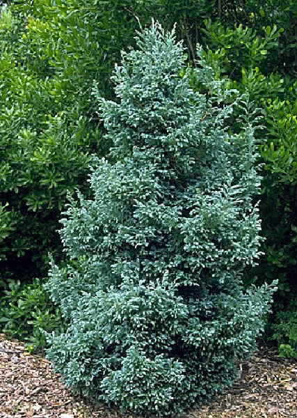 "Енциклопедия - Chamaecyparis pisifera Bouleward, Лъжекипарис ""Булевард"""