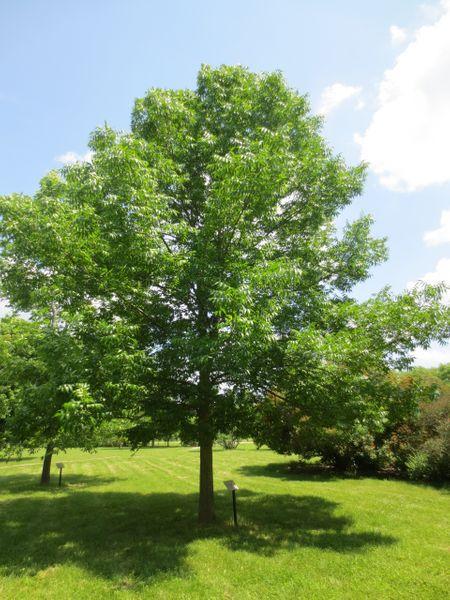 Fraxinus americana, Американски (бял) Ясен