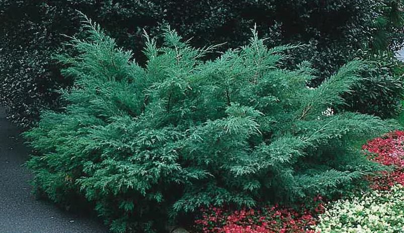 Juniperus media Hetzii