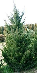 Juniperus chinensis Ketelerii