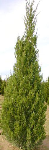 Juniperus chinensis Spartan