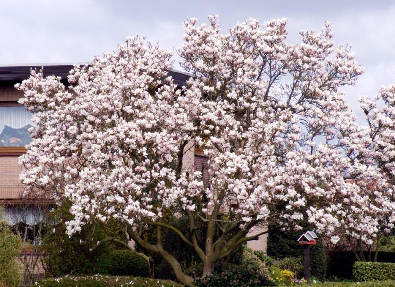 Magnolia soulangiana, Магнолия лалевидна