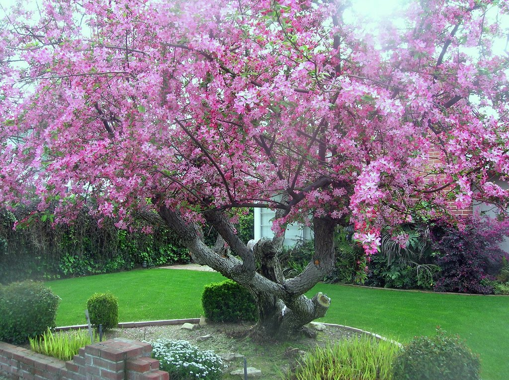 Malus floribunda, Декоративна обилно цъфтяща ябълка