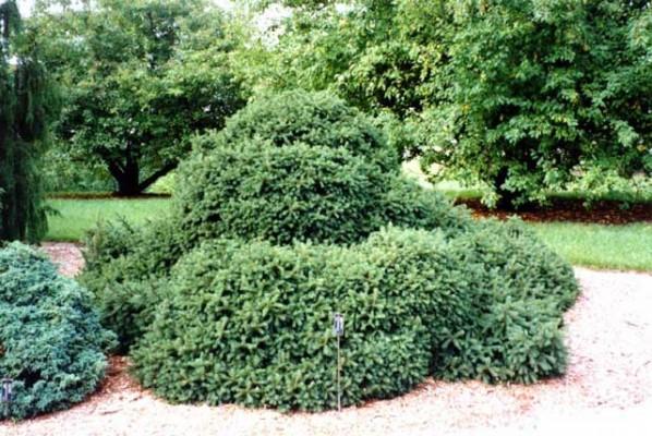 Picea abies Echiniformis, Джуджест смърч