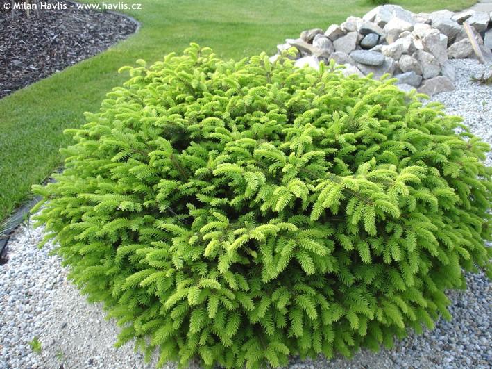 Picea abies Nidiformis, Гнездовиден смърч