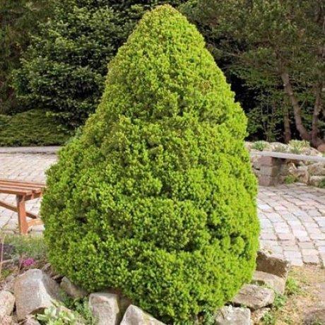 Picea glauca Conica, Коничен джуджевиден смърч)