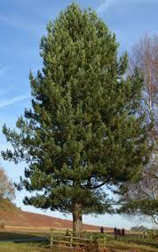 Pinus nigra, Черен бор