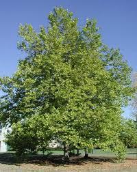 Platanus х acerifolia, Чинар, Платан