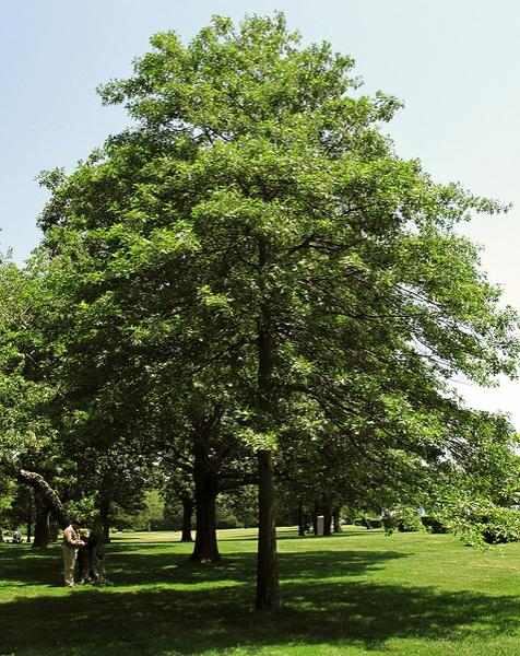 Querqus palustris, Блатен дъб