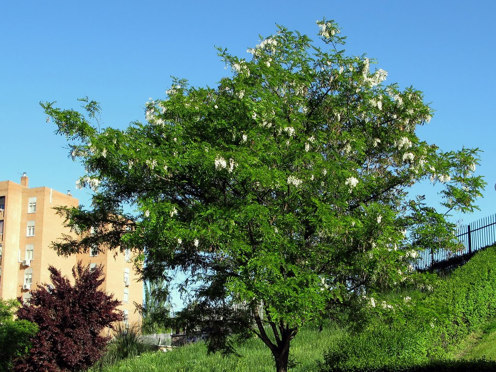 Robinia pseudoacacia, Бяла акация, Салкъм