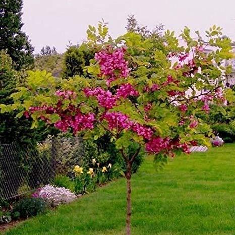 Robinia hispida, Розова акация