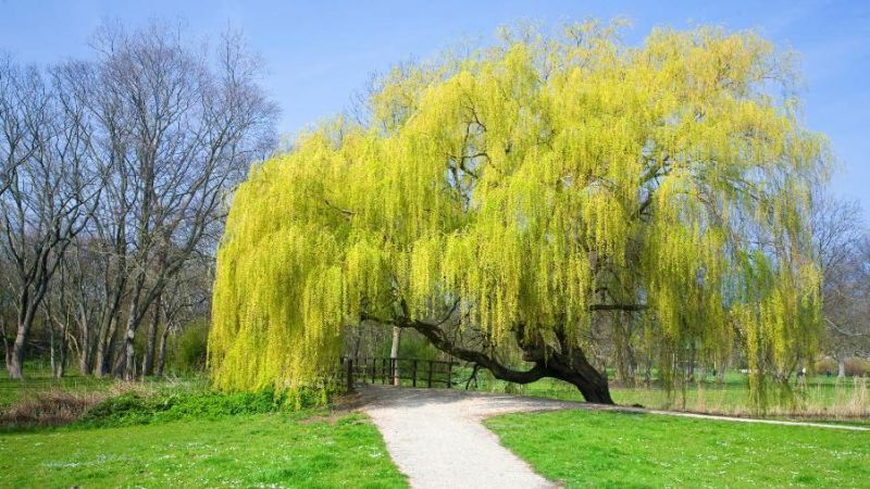 Salix babylonica/ alba Tristis, Жълта плачеща върба