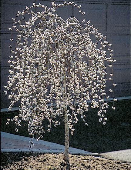 Salix caprea, Козя върба, Ива, Ракита