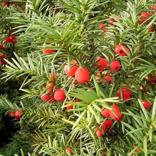 Taxus baccata, Обикновен тис