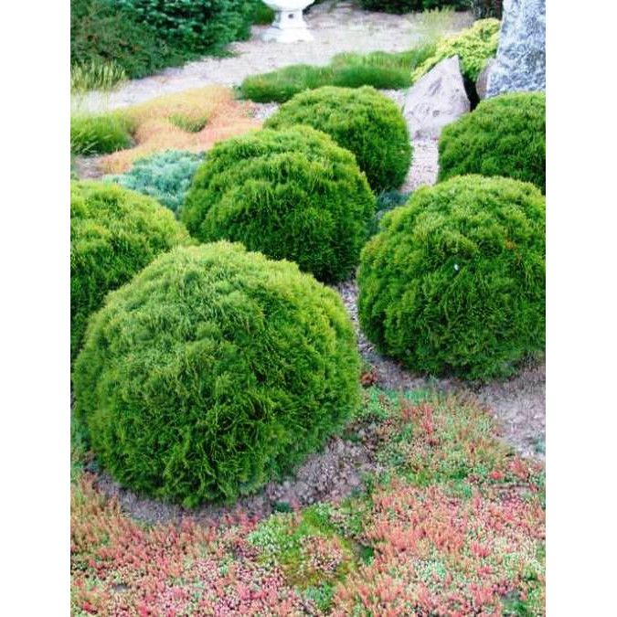 Thuja occidentalis Kobold, Западна туя Коболд