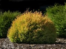 Thuja occidentalis Rheingold, Жълта конусообразна туя форма Рейнголд