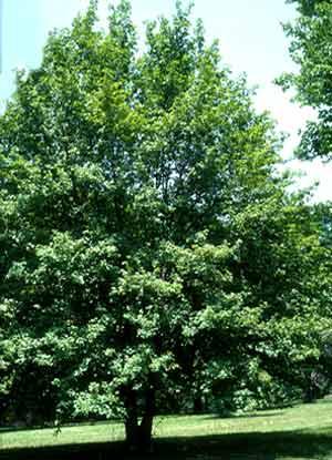 Acer campestre, Полски клен