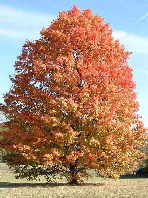 Acer saccharinum, Сребрист клен