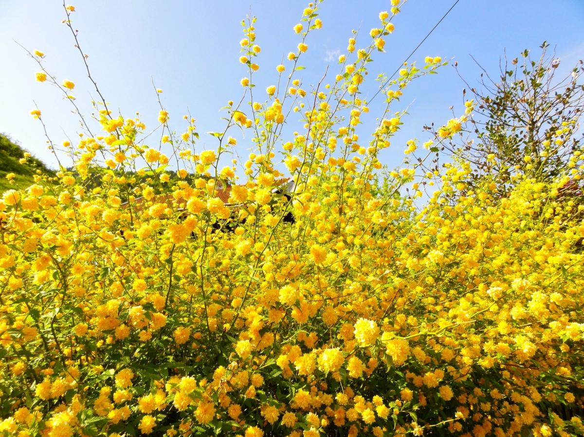 Kerria japonica- Керия японика
