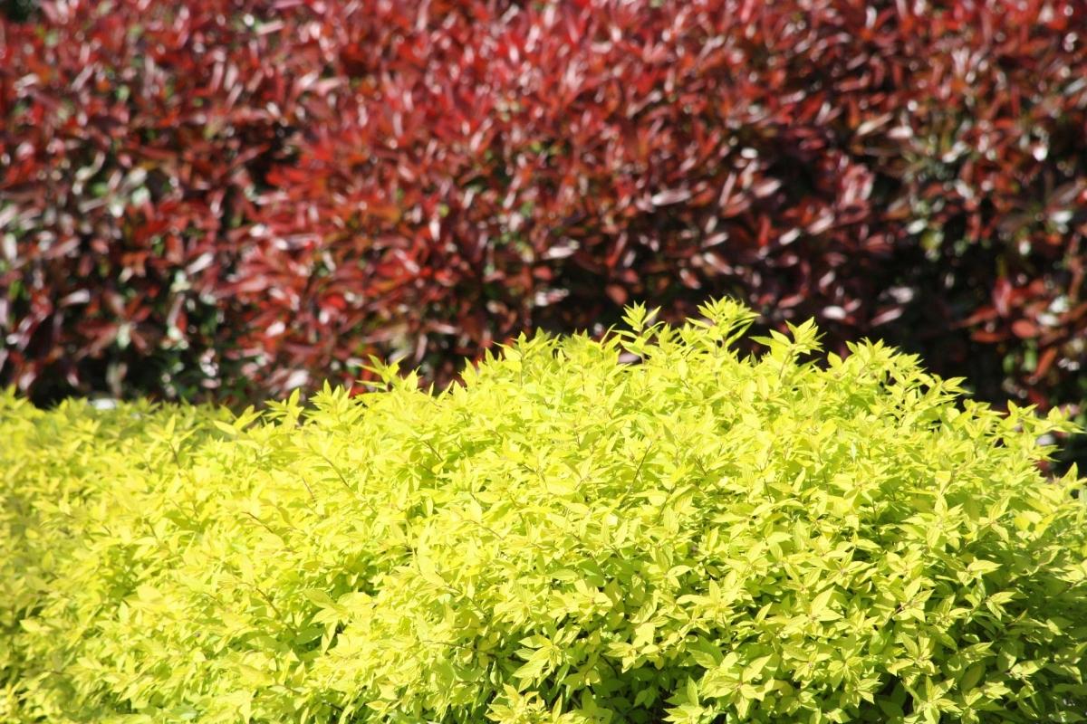 """Spiraea japonica """"Golden Princess""""- Спирея златна принцеса"""