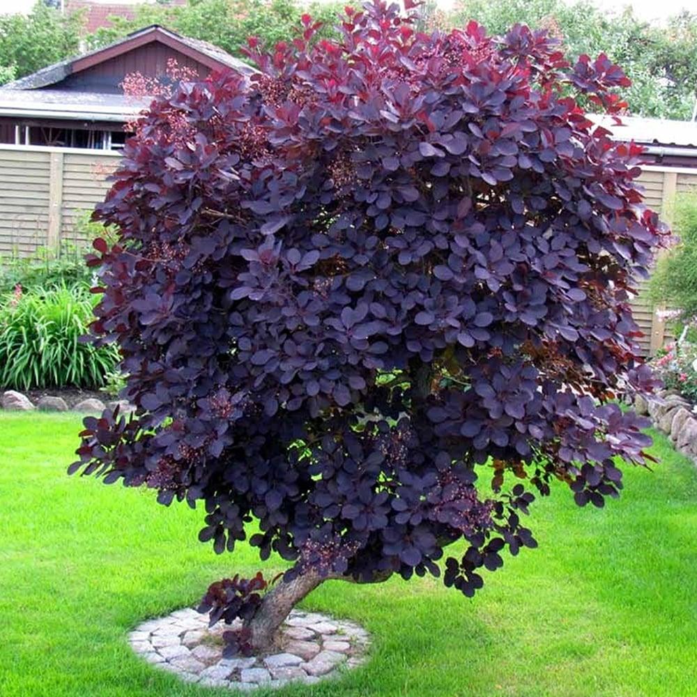 Cotinus coggygria Royal Purple, Червевнолистна смрадлика