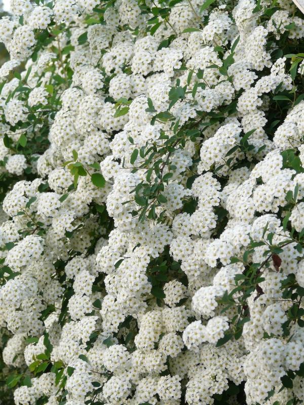 Spiraea X vanhouttei - Спирея майски сняг