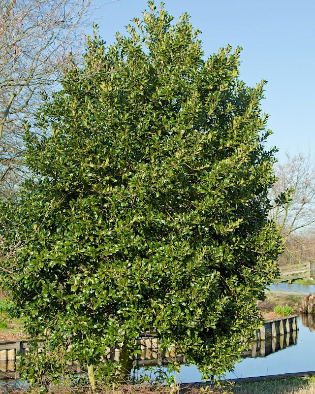 Ilex aquifolium, Остролистен Джел