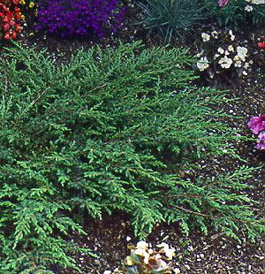 Енциклопедия - Juniperus communis Repanda, Смрика обикновена стелеща Репанда