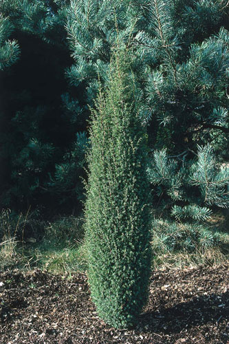 juniperus communis hibernica. Black Bedroom Furniture Sets. Home Design Ideas